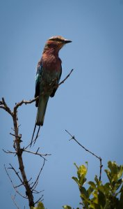 Bee-eater?