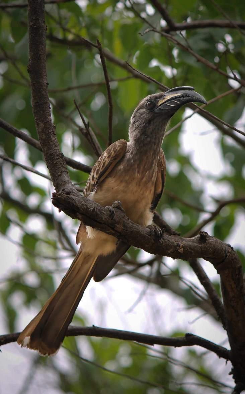 Grey hornbill?