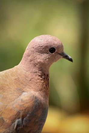 Cape turtle-dove?
