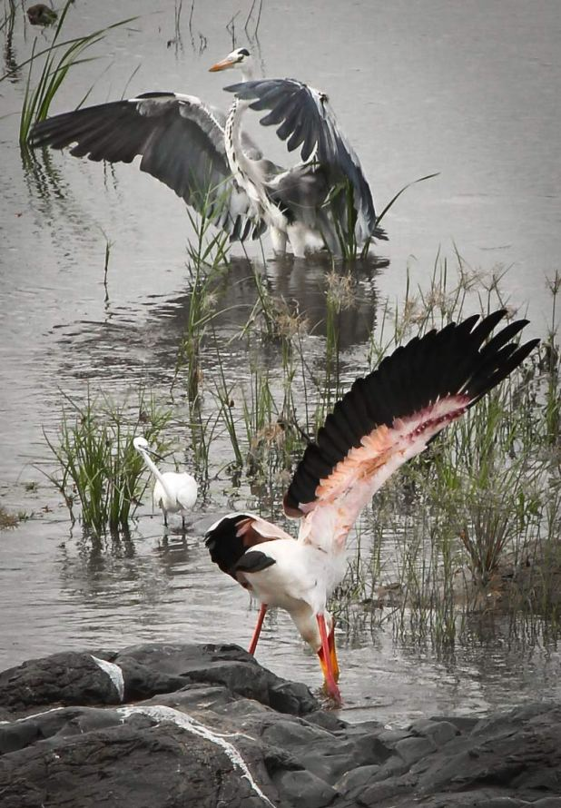 bird yoga: yellow-billed stork, grey heron, spectating little egret