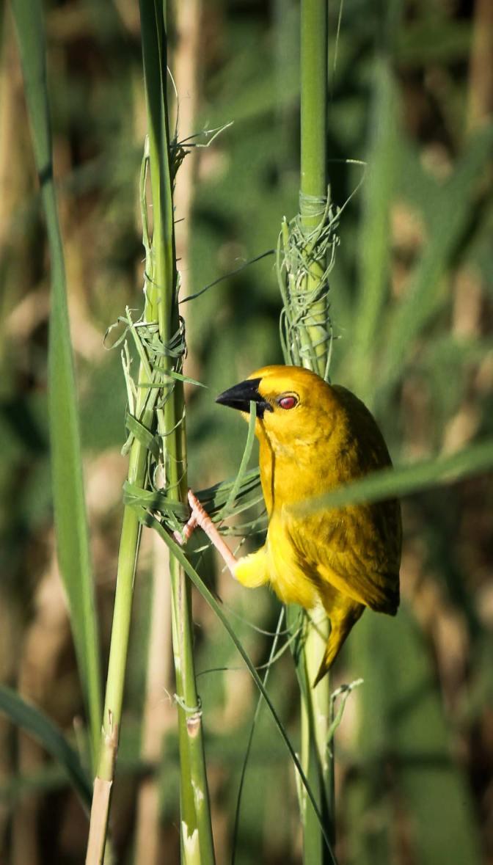 Yellow weaver